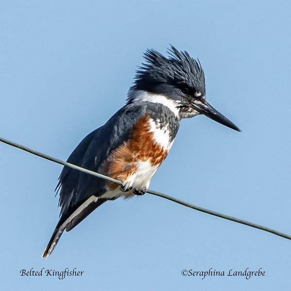 _DSC7746Belted Kingfisher.jpg