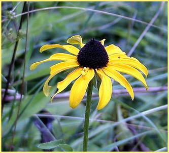Black-eyed Susan Rudbeckia hirta Asteraceae 8/4/07 Balsam Mtn Road, NC