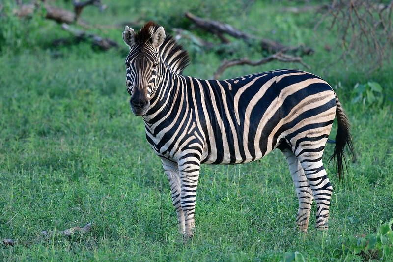 Zebra Mid-shot