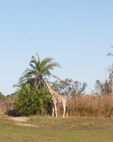 Tall Giraffe Eating Food, as Himself
