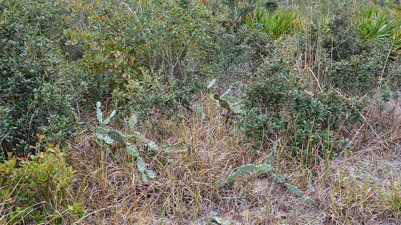 Cacti and scrub oaks