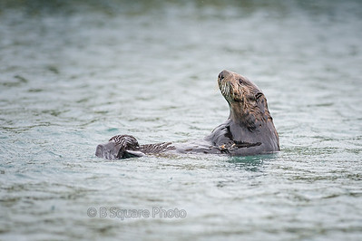 Sea Otter Photography