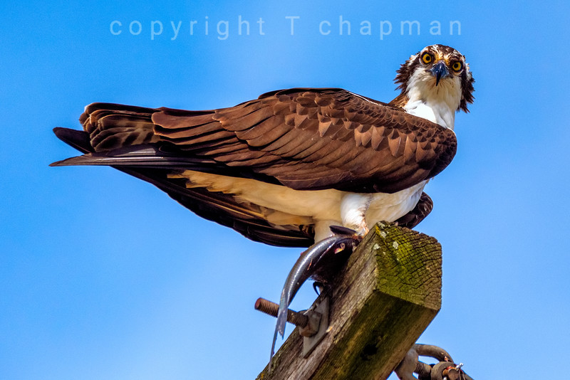Osprey with fish on pole 1