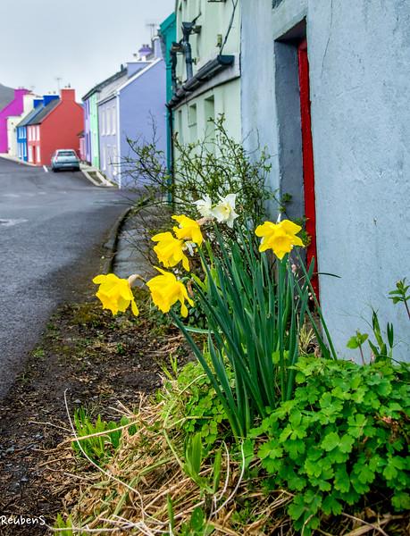 Daffodils, Ireland.jpg