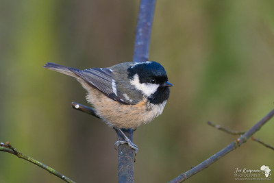 Little Coal Tit