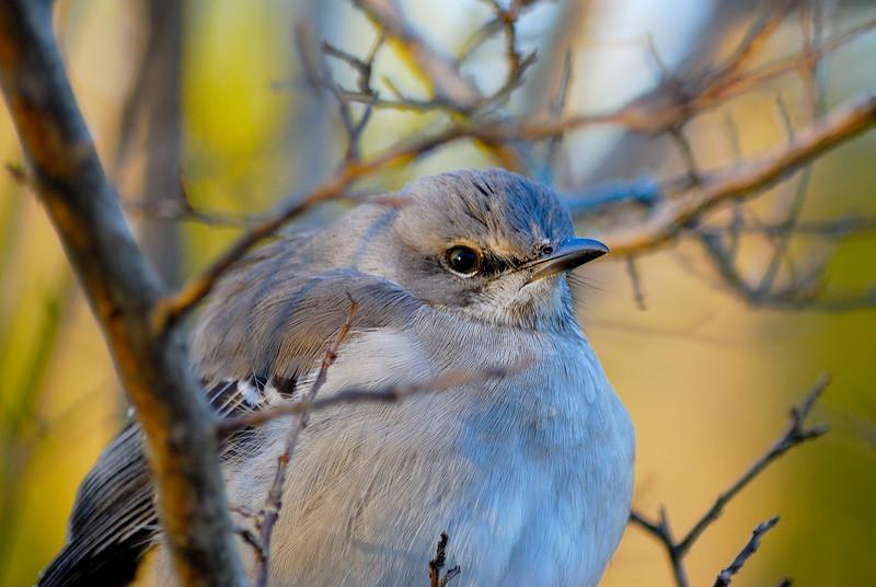 Mocking Bird.jpg