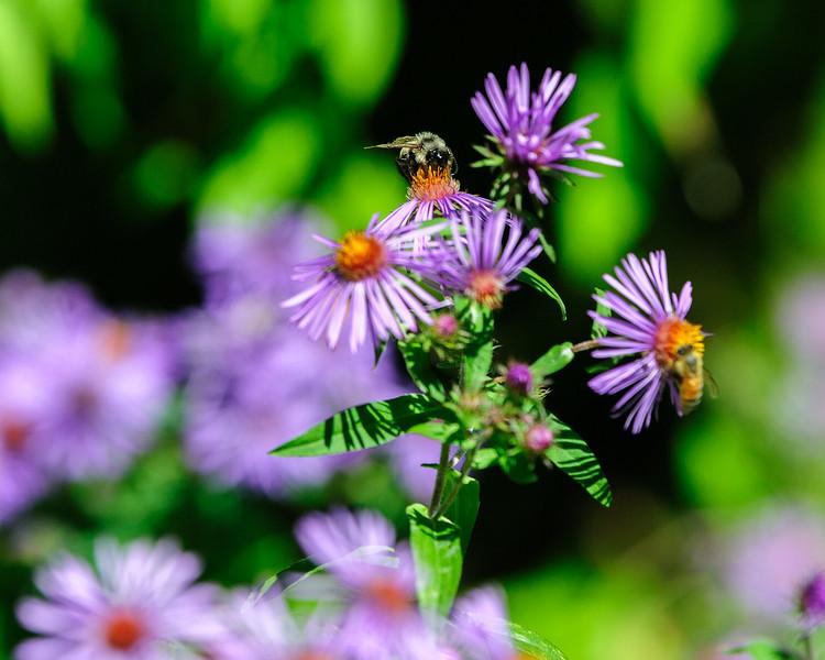 20170914 Wild Flowers-0171 BEES.jpg