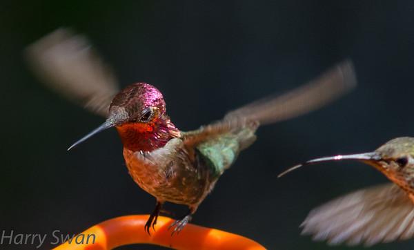 June hummers