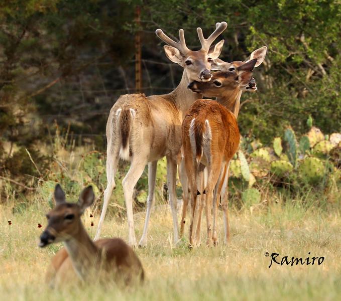 Deer Herd2 IMG_7903.jpg
