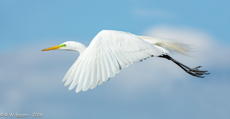 Egret Fly-by.jpg