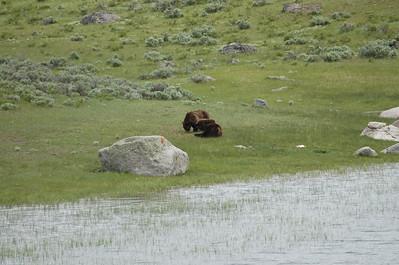 Yellowstone NP 2011 2 verliefde beren