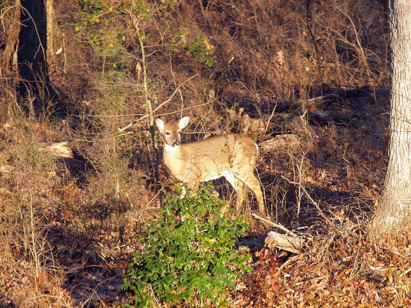 Deer Apco-014.JPG