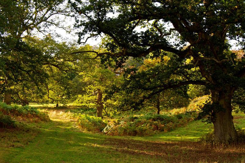 Shadowed Oak