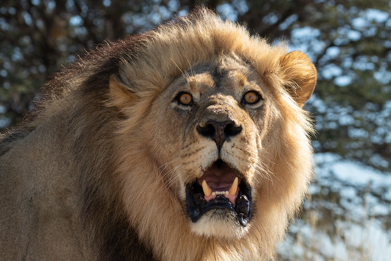 When a male Lion looks down at you!