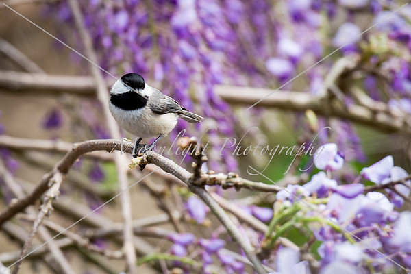 Wisteria, Peony, and birds