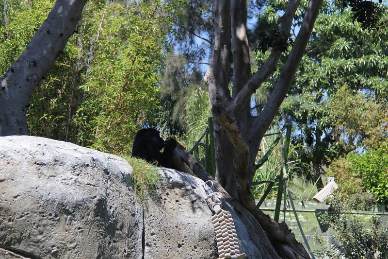 20170807-151 - San Diego Zoo - Gorilla.JPG