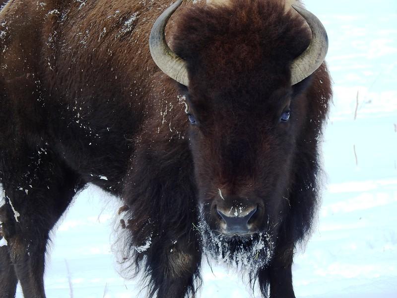 Buffalo (17).JPG