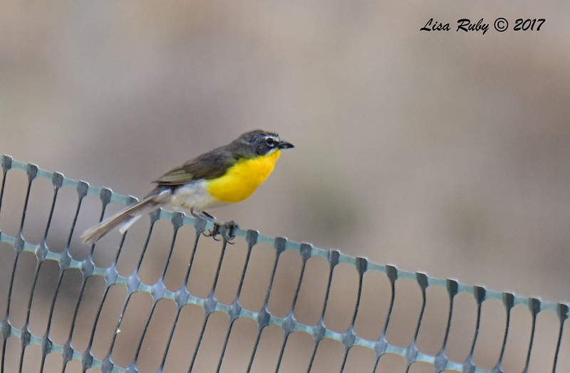 Yellow-breasted Chat  - 6/21/2017 - Penasquitos Canyon West