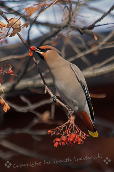 Bohemiam Waxwing with Berries