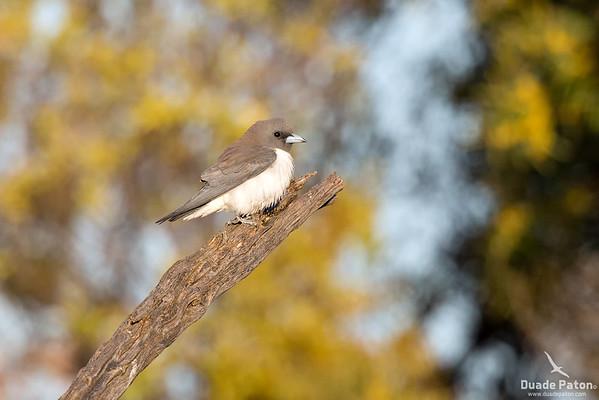 White-bellied Woodswallow
