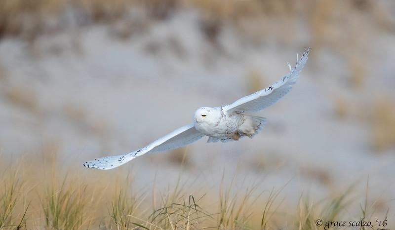 Snowy owl_S243609.jpg