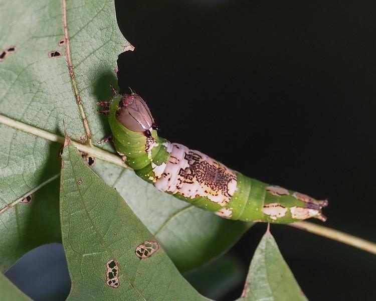 White-blotched Heterocampa - 7990