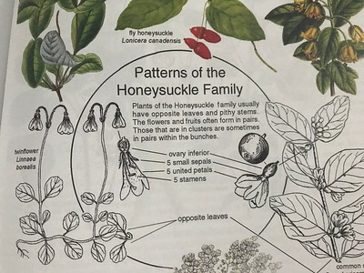 12. HONEYSUCKLE FAMILY