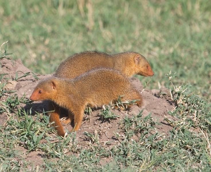 Dwarf Mongoose, Naboisho Conservancy
