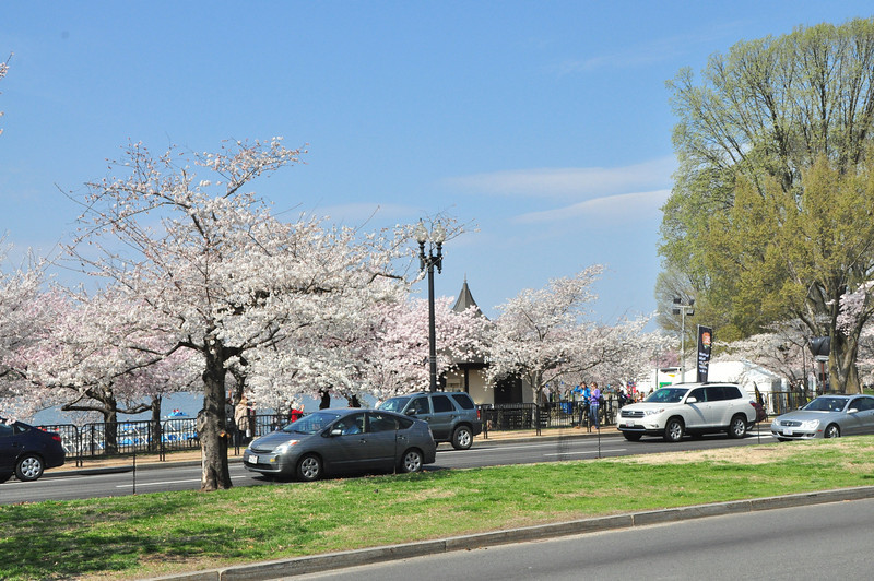 Cherry Blossoms 2014 015.jpg