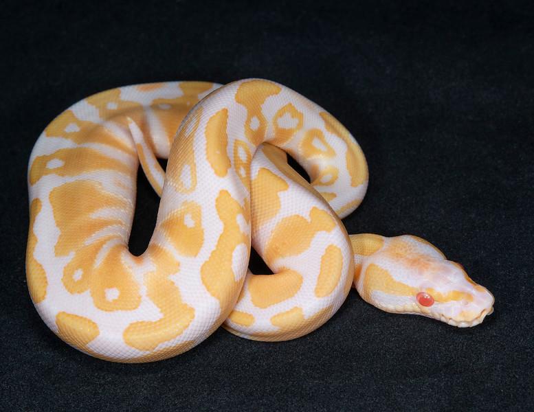 #2072, Female Albino 100% Het Pied, $300
