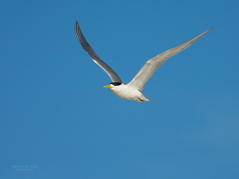 Crested Tern, Lady Elliot Island, QLD, Dec 2015-2.jpg