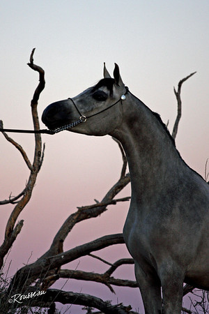 Delgado Prized Arabians