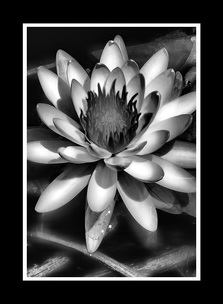 lily-bw.jpg