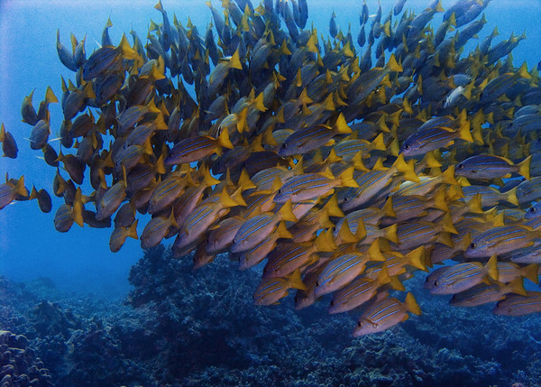 Snappers and Emperors (Lutjanidae-Lethrinidae)