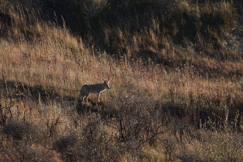 Coyote Teddy Roosevelt National Park ND IMG_7195.jpg