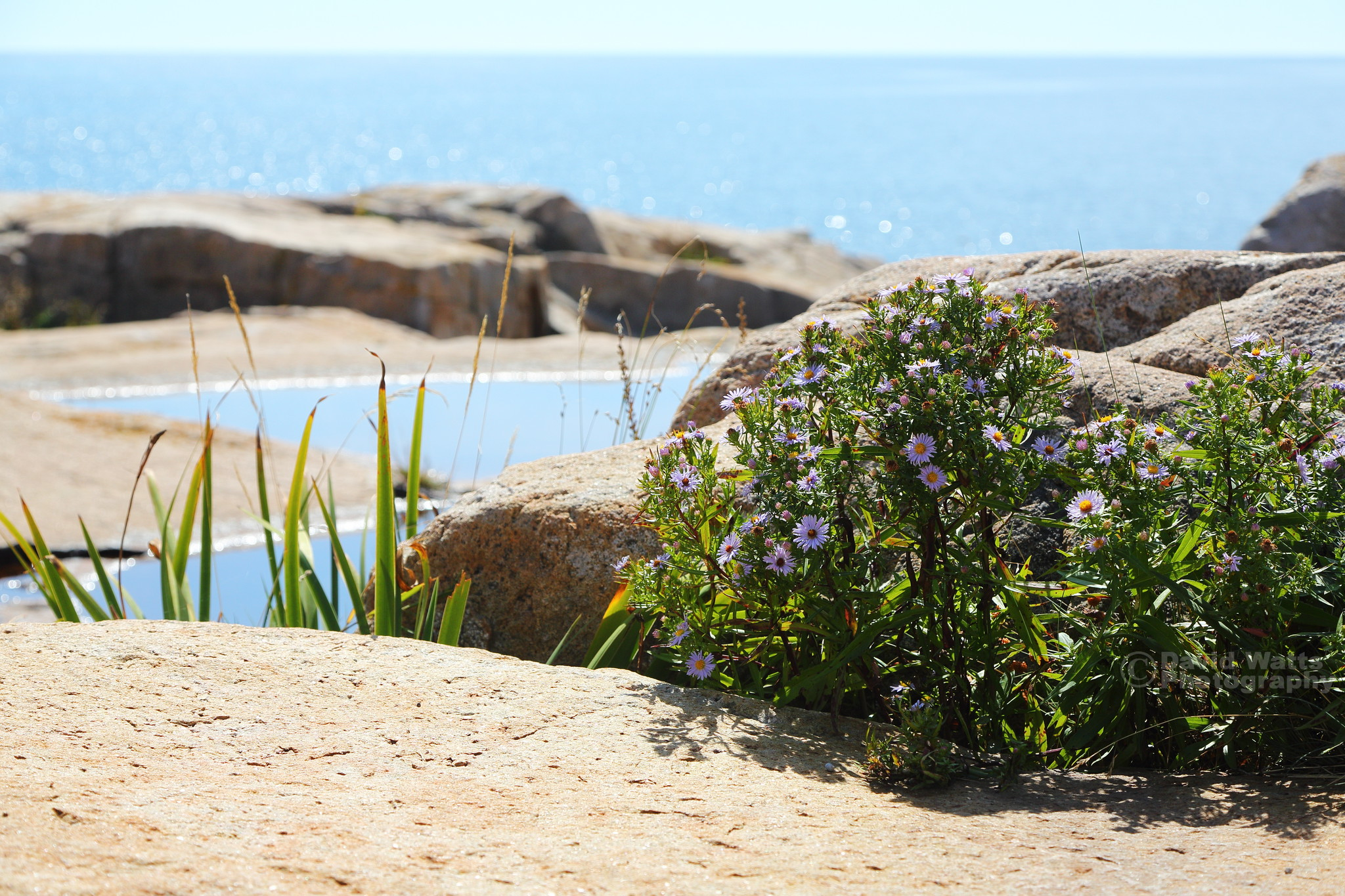 Bedrock and Flowers - Schoodic Point, Maine