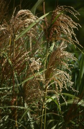 Miscanthus sinensis 'Gewitterwolke'.jpg