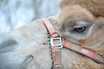 Грустный верблюд
