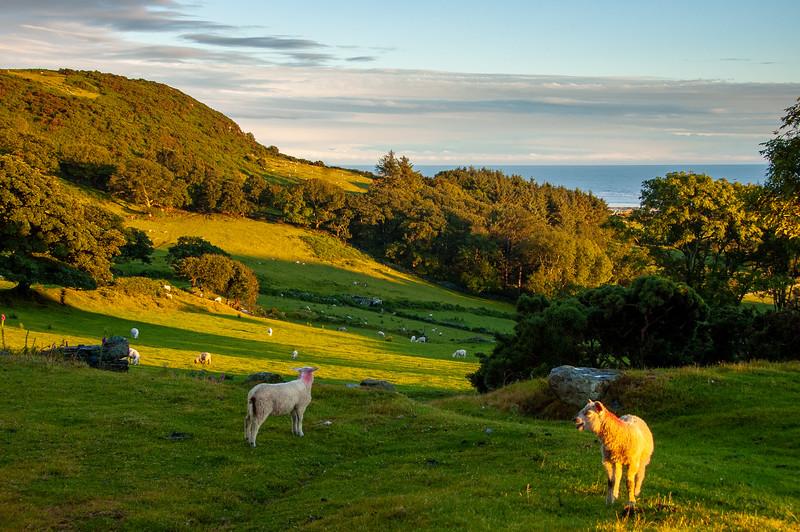 Sheep on Welsh hillsides
