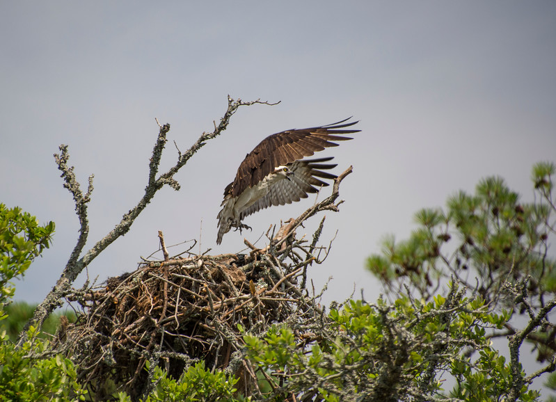 Osprey-taking-flight-corollaPS.jpg