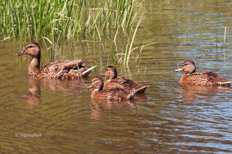 July 25_Ducks Mallard Family_0876.jpg