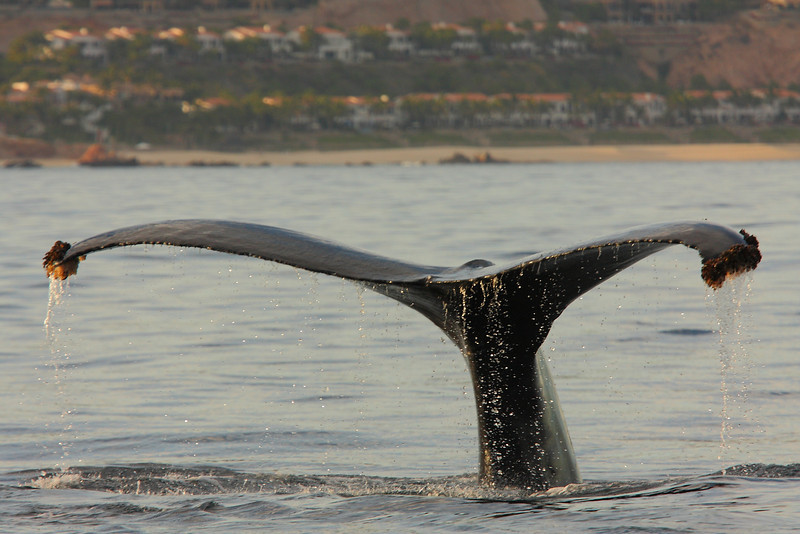 Mexico_Cabo_Whales 14.JPG