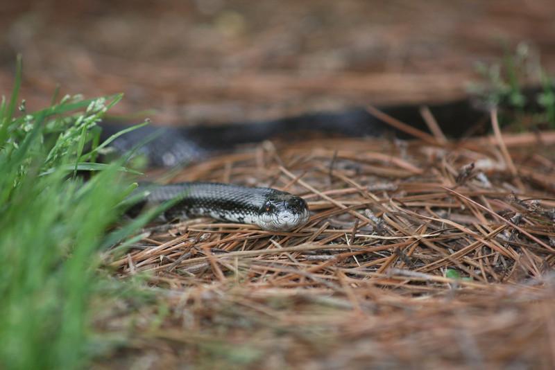 Snake_0003