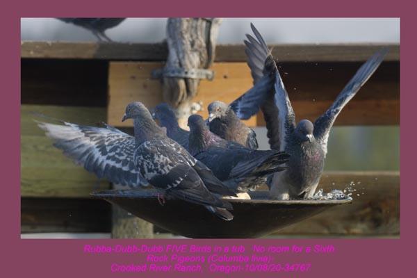 Rock Pigeons 34767.jpg
