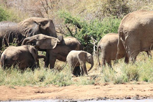 Elephants Loisaba Kenya 2018