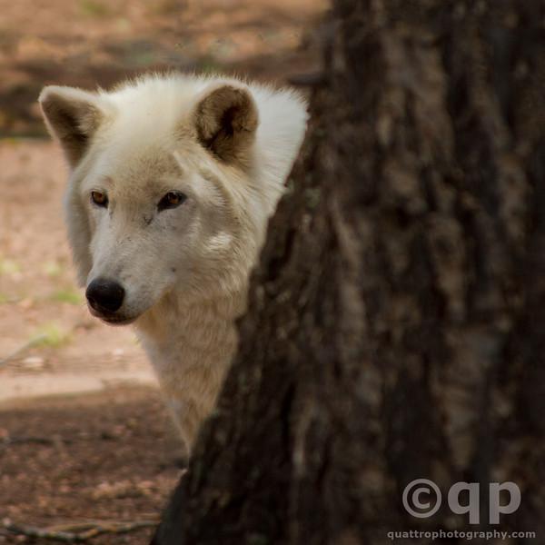 WOLF PEEK-A-BOO