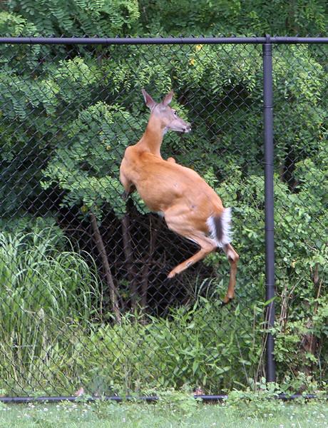 Tewksbury deer at fence 071219