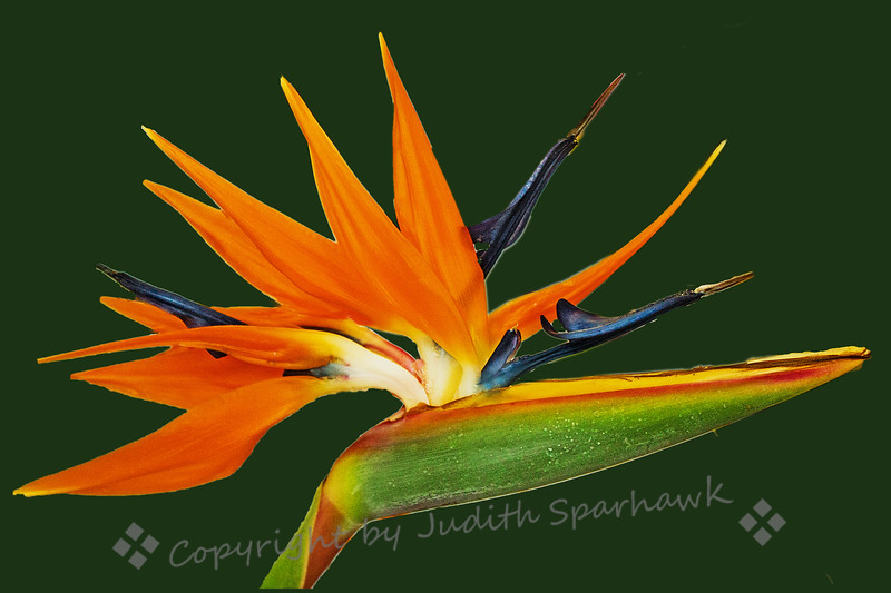 "Bird of Paradise ~ This particular bloom had so many ""wings"" of the bird of paradise, it was very full and was my favorite.  It was at the local horticultural society's flower competition."