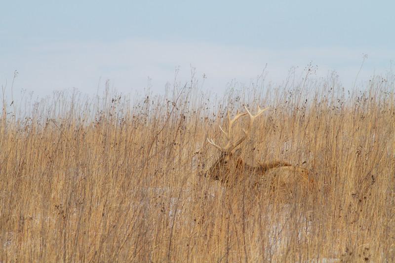 Elk bull Neal Smith National Wildlife Refuge NWR Prairie City IA  IMG_2000.jpg
