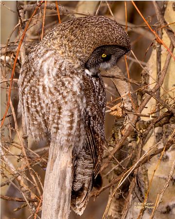 Great Gray Owls (Massena, NY Winter 2017)